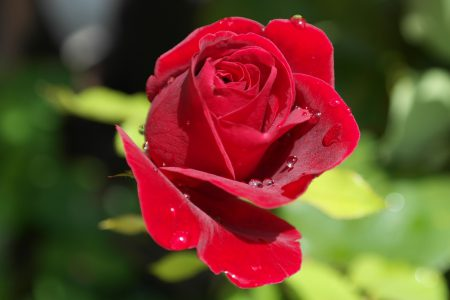 A single red rose with dew on it.